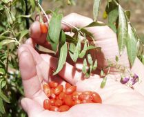 how to grow goji berry plant